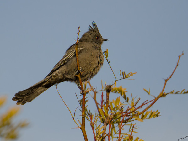 Female Phainopepla found at Wetlands Park Preserve, Henderson Nevada, November 2018
