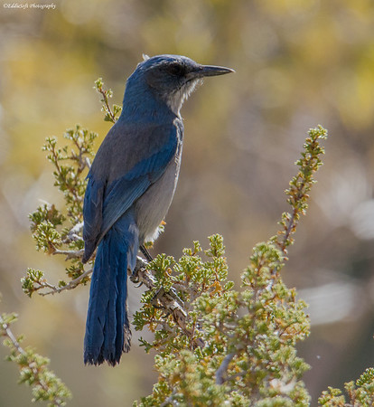 Woodhouse's Scrub-Jay found at Red Rock Canyon National Conservation Area, Las Vegas NV, November 2018