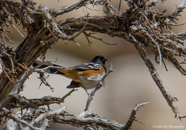 Spotted Towhee found at Red Rock Canyon National Conservation Area, Las Vegas, Nevada, November 2018