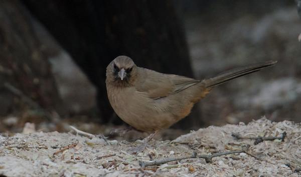 Abet's Towhee found at Wetlands Park Preserve in Henderson, Nevada November, 2018