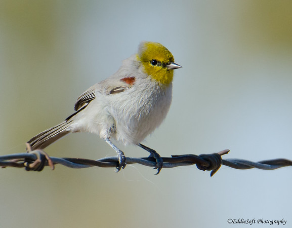 Verdin found at Henderson Bird Viewing Preserve, Henderson Nevada, November 2018