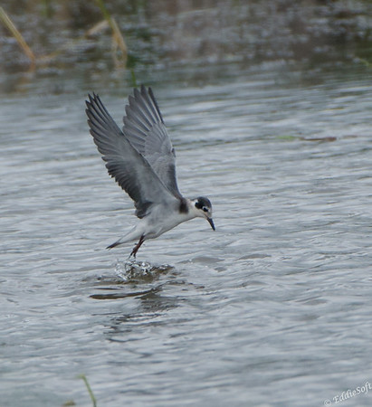 Black Tern shot at Sherburne National Wildlife Refuge near Minneapolis, MN. in July 2017