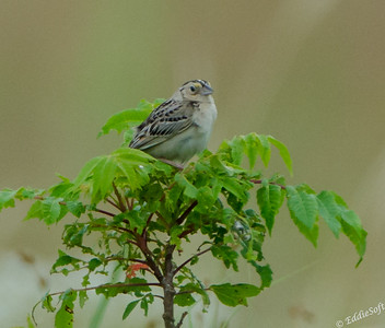 Grasshopper Sparrow shot at Sherburne National Wildlife Refuge near Minneapolis MN in July 2017