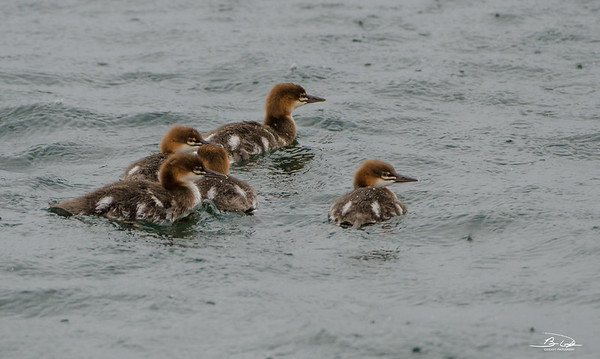 Common Merganser offspring shot at Grand Marais, Minnesota in July 2017