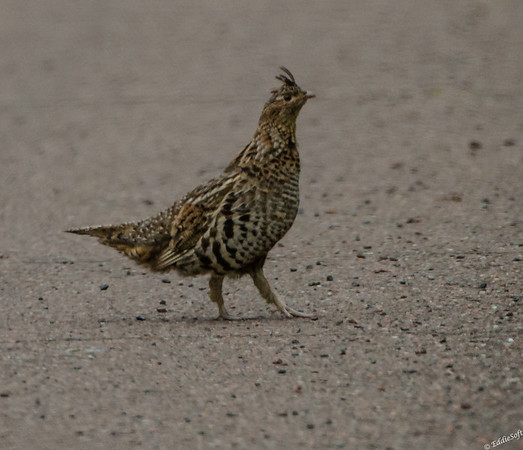 Ruffed Grouse shot on highway 61 outside of Grand Portage in Northern Minnesota in July 2017