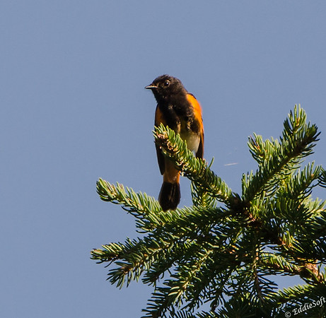 American Redstart shot in Minnesota on Lake Superior in July 2017