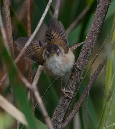 Marsh Wren shot at Sherburne National Wildlife Refuge July 2017