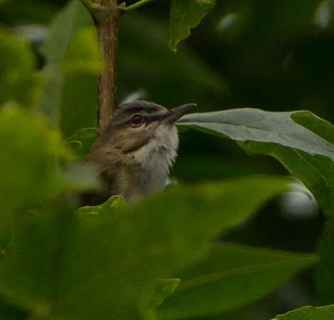 Juvenile Red-Eyed Vireo shot at Bellevue State Park in Bellevue IA July 2017