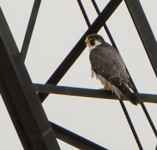 Peregrine Falcon spotted in Bellevue Iowa Locks July 14th, 2017