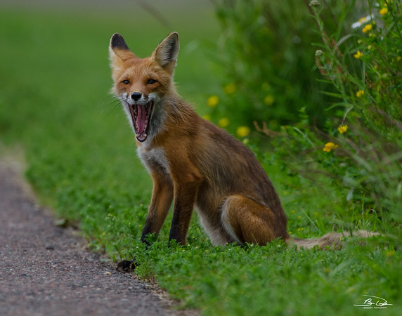 Fox shot at Grand Portage, MN at Grand Portage State Park July 2017