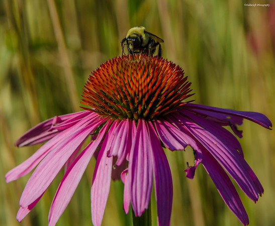 Bee on flower taken at Biltmore Estate July 2014