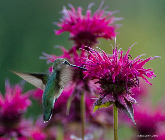 Ruby-Throated Hummingbird shot at Biltmore Estates in Asheville NC July 2014
