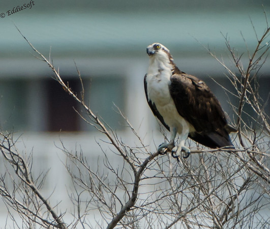 Osprey and offspring from Outer Banks, North Carolina July 2014