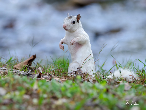 White Squirrel found at Brevard College, Brevard NC in October 2016