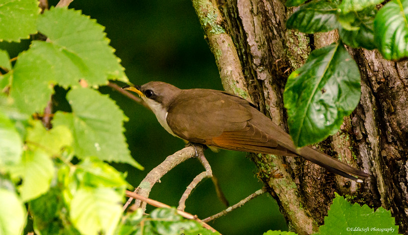 Yellow-Billed Cuckoo found at Rend Lake, IL in July of 2016