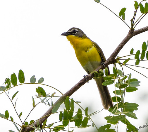 Yellow-Breasted Chat found at Rend lake, IL in July 2016