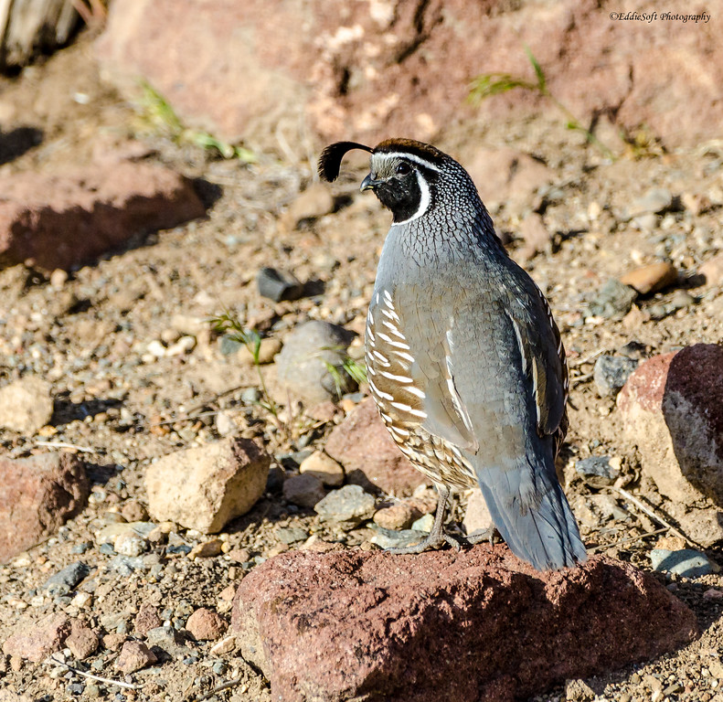 California Quail found at outside Lake Tahoe in May 2019