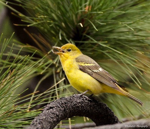 Western Tanager found on Reno/Lake Tahoe trip back in May of 2019