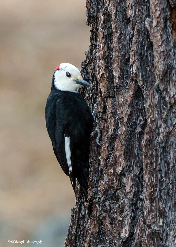 White-Headed Woodpecker found at Lake Tahoe, CA in May 2019