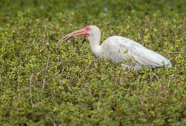 White Ibis Shot on Texas Birding Trip November 2013