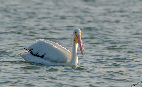 White Pelican Shot on Texas Birding Trip - November 2013