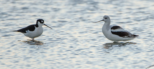 American Avocet shot at Galveston TX, November 2013