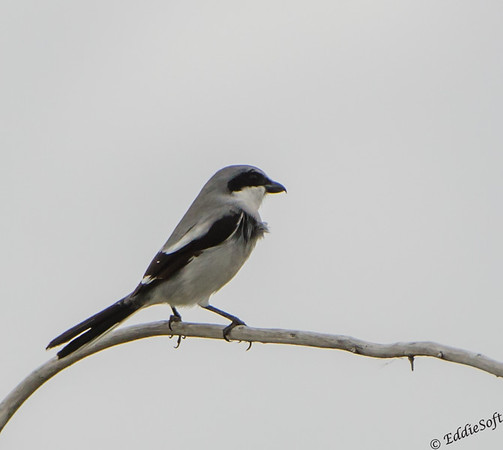 Loggerhead Shrike shot on Texas birding trip in November 2013