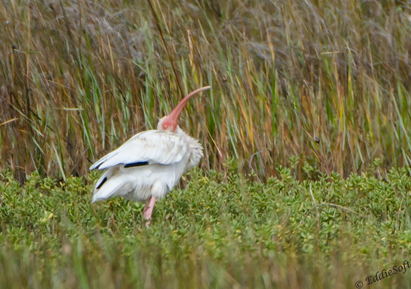 White Ibis Shot on Texas Birding Trip November 2013