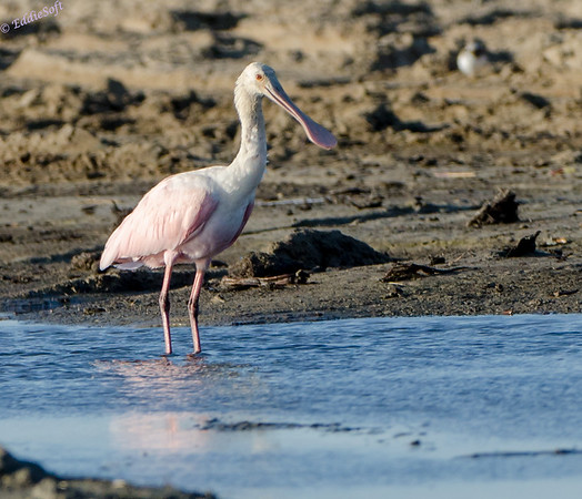 Birding Texas November 2013