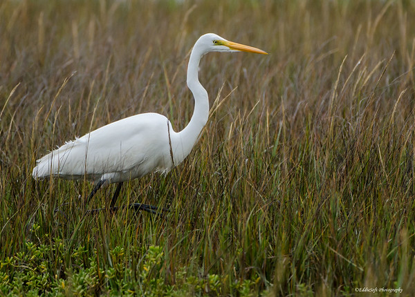 Great Egret Shot on Texas Birding Trip - November 2013