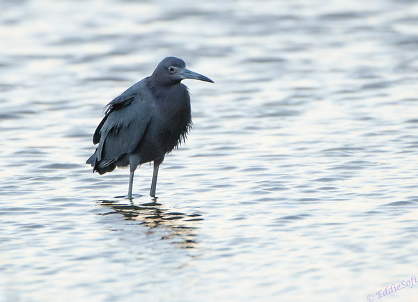 Heron shot near Galveston, TX in November 2013