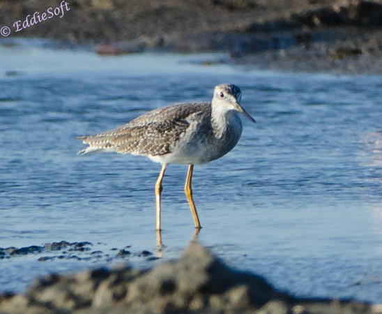Greater Yellow Legs shot in Galveston, Texas in Nov 2013