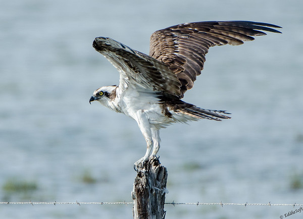 Osprey on our Texas Birding Trip November 2013
