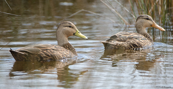 Mottled Duck shot in Galveston Texas, Nov 2013