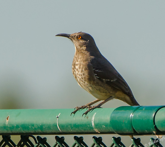 Curve-Billed Thrasher found at McAllen Nature Center in McAllen, TX in January 2020