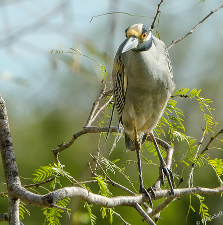 Yellow-Crowned Night-Heron found at Estero Llano Grande State Park on our trip to Texas Gulf Coast in 2020