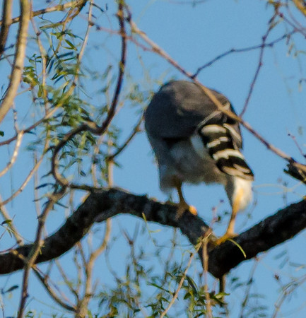 Grey Hawk found at Bentsen-Rio Grande Valley State Park, Mission, TX in January 2020