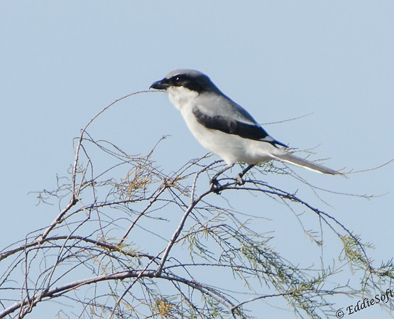 Loggerhead Shrike found at Galveston State Park, Texas January 2017
