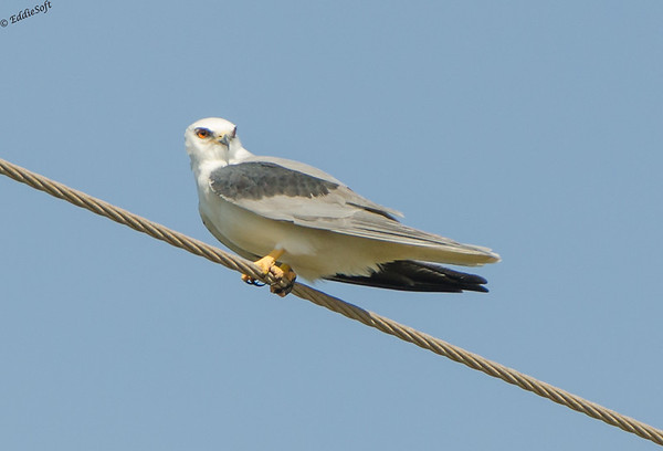 White-Tailed Kite Shot at Galveston Texas State Park in December 2016
