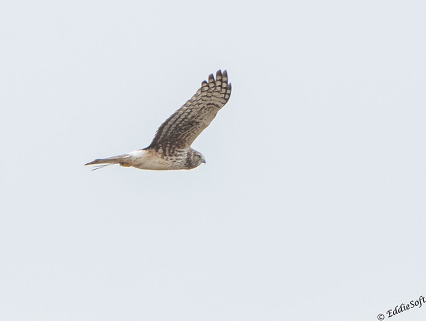 Northern Harrier hunting the marshes of Galveston Texas State Park January 2017