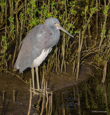Tricolored Heron found at South Padre Island Bird Viewing and Nature Center January 2017