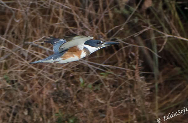 Belted Kingfisher found in Conroe, Texas December 2016