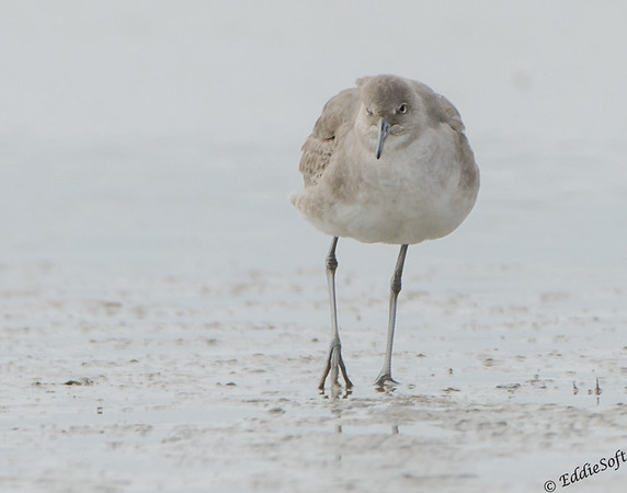 Willet found on Galveston Island, Texas, January 2017