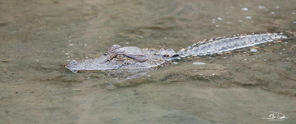 Alligators encountered while birding Texas in January 2017 - South Padre Island