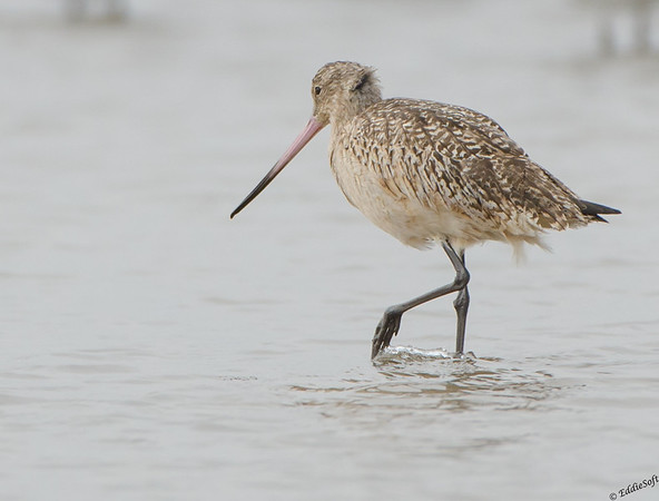 Marbled Godwit shot on Galveston Island Texas January 2017