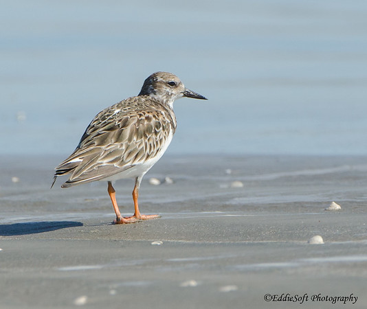 Ruddy Turnstone found on Galveston Island, Texas January 2017