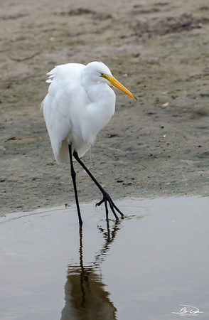 Great Egret found at Galveston Island, Texas December 2016