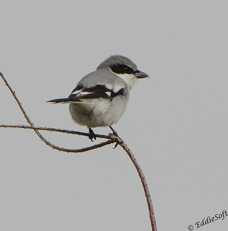 Loggerhead Shrike found at Anahuac National Wildlife Refuge, Texas January 2017