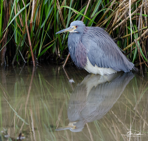 Tricolored Heron found at South Padre Island Bird Viewing and Nature Center December 2016