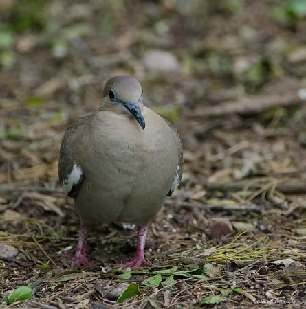 White-Winged Dove Shot at Laguna Atascosa National Wildlife Refuge, TX in January 2017